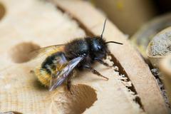 Solitary bee Stock Photos
