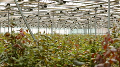 Technology of growing of roses in greenhouses Stock Footage