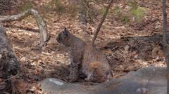 Bobcat - Animal Wildlife Stock Footage