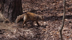 Red Fox - Animal Wildlife Stock Footage