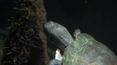Turtle - Swimming - Reptile Wildlife - stock footage