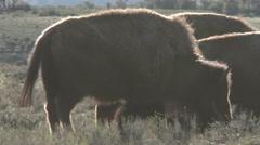 Bison, Buffalo, Yellowstone National Park Stock Footage