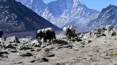 Yaks with expedition at Himalaya mountain, Nepal. Stock Footage