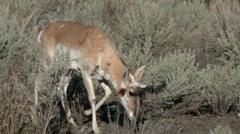 Pronghorn, American Antelope, Yellowstone - stock footage