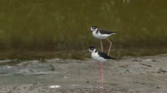 Black-necked Stilts (Himantopus mexicanus) Stock Footage