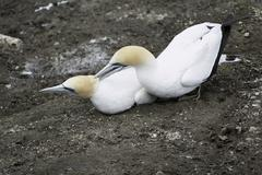 Gannets during the nesting and breeding season in Muriwai Beach Stock Photos