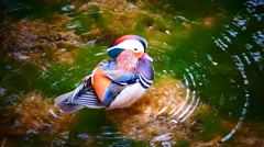 Male Mandarin water bird swimming bathing in river stream Stock Footage