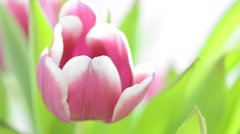 Tulip flower bouquet with slow sliding motion - stock footage