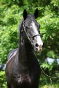 Amazing black welsh part-bred stallion - stock photo