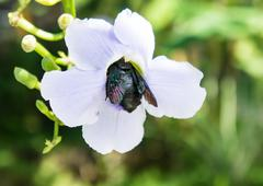 blue purple flower of Laurel vine,Thunbergia laurifolia.black bug sits on flower - stock photo