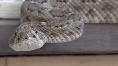 Rattlesnake Looks Right At You Flicks Forked Tongue Close Up - stock footage