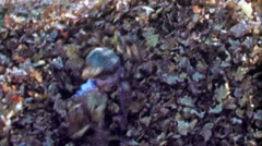 1967: Boy reveals himself from hiding autumn fallen leaf pile. - stock footage