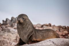 Proud sea lion perched on a rock in Antarctica Stock Photos