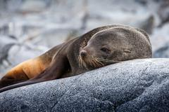Cute sea lion relaxing on a rock in Antarctica Stock Photos