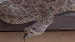 4K Western Diamondback Rattlesnake Shiny Forked Flicking Tongue Close Up Stock Footage