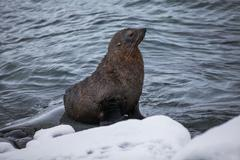 Fur Seal sitting on the rocks washed by ocean, Antarctica Stock Photos