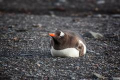 Lonely Gentoo Penguin lying onto the beach, Antarctica - stock photo