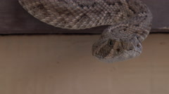 4K Rattlesnake Flicks Forked Tongue Senses Surroundings Stock Footage