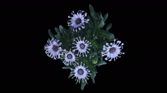 Time-lapse of opening Rain Daisy flowers in RGB + ALPHA matte format, top Stock Footage