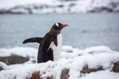 Gentoo penguin walking on snow against ocean in Antarctica - stock photo