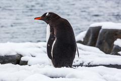 Gentoo penguin from the back on snow against ocean, Antarctica Stock Photos