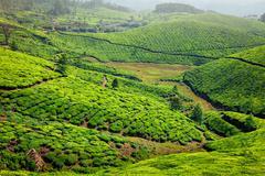 Tea plantations in Kerala, India - stock photo
