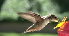Hummingbird Feeding in 4K Slow Motion at 120fps Stock Footage