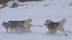 Husky dogs in the snow in the north in winter pulling a sleigh - stock footage