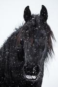 Friesian horse and snowfall Stock Photos