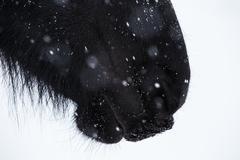 Nostrils of friesian horse and snowflake Stock Photos