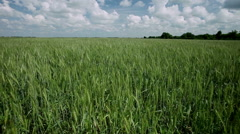 Stock Video Footage of The field of ripening wheat