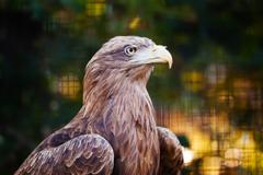 a portret of eagle - stock photo