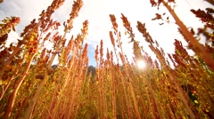 Colorful Quinoa plants on a field in Andes of Peru Stock Footage