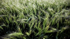 Stock Video Footage of The field of wheat. Spikes of wheat with ripening grains.