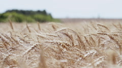 A field of wheat. Spikes of wheat with ripe grains. - stock footage