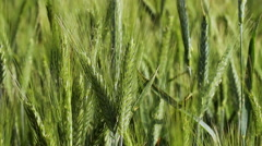 The field of wheat. Spikes of wheat with ripening grains. - stock footage