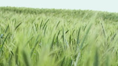The field of ripening wheat - stock footage