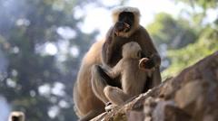 Langur monkey in Rishikesh, India . Close up Stock Footage