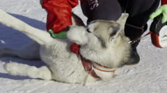 Competition in sled dog racing and skijoring - stock footage