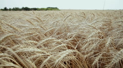 A field of wheat. Spikes of wheat with ripe grains. Stock Footage