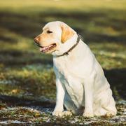 Beautiful White Labrador Dog Sit Outdoor - stock photo