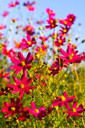 Field of magenta flowers against cyan blue sky Stock Photos