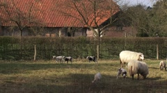 Frolicking lambs in pasture near farmhouse Stock Footage