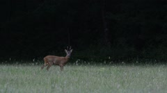 European roe deer buck fleeing from meadow into forest Stock Footage