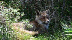 Red fox (Vulpes vulpes) resting in high grass of meadow Stock Footage