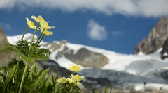 Yellow alpine pasqueflower / anemone in flower in the Alps Stock Footage