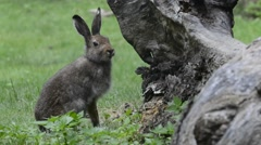 Mountain hare (Lepus timidus) in summer pelage Stock Footage