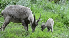 Alpine ibex female with young in meadow in the Alps Stock Footage