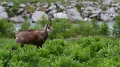 Alpine chamois foraging along mountain stream in spring Stock Footage