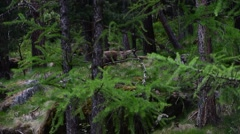 Alpine chamois foraging in coniferous forest in spring Stock Footage